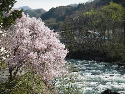 千代田館の桜