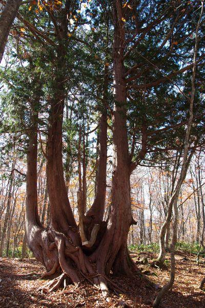 ねずこの大木